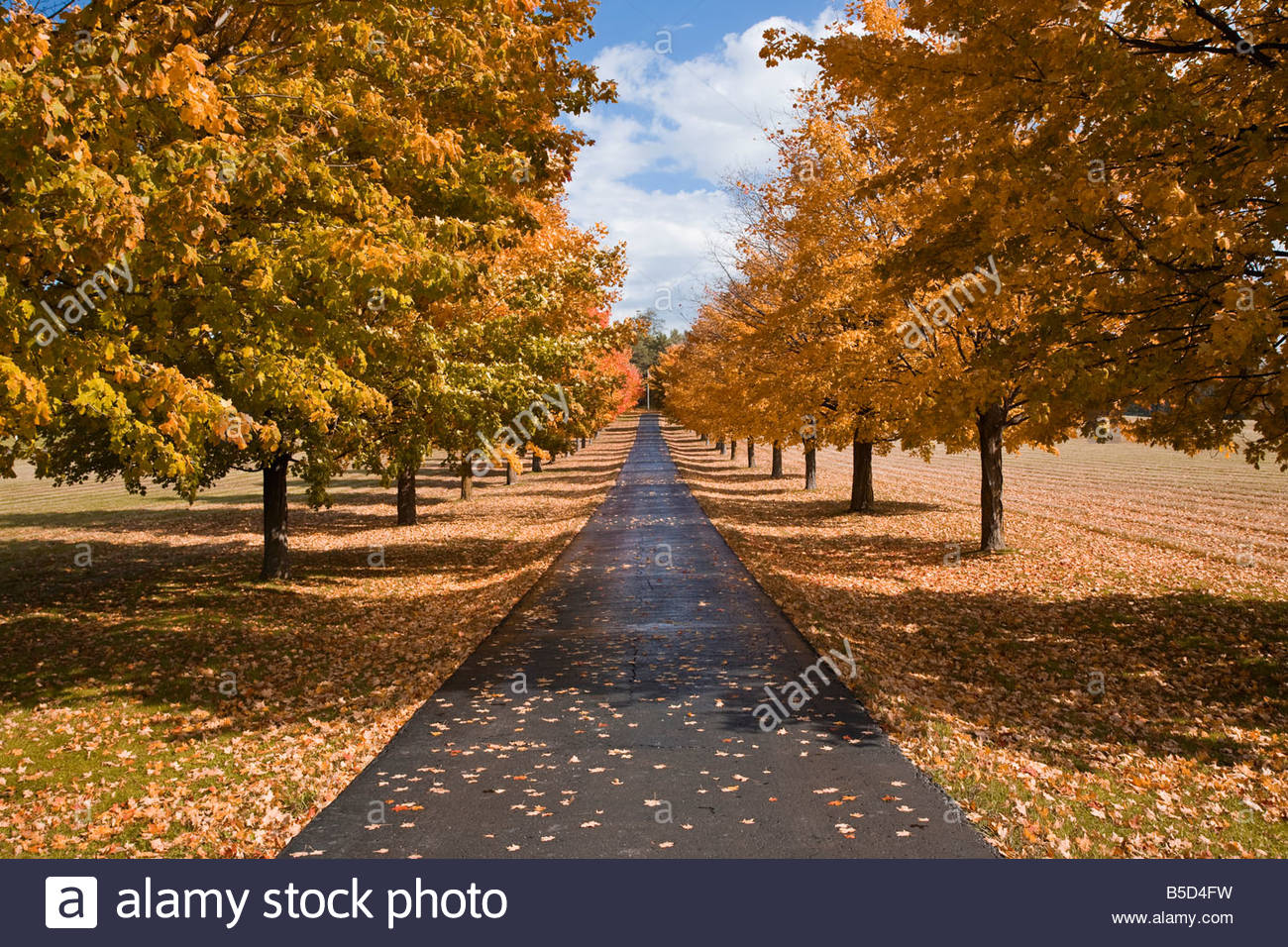 driveway lined with maple trees in autumn near pontypool in southern