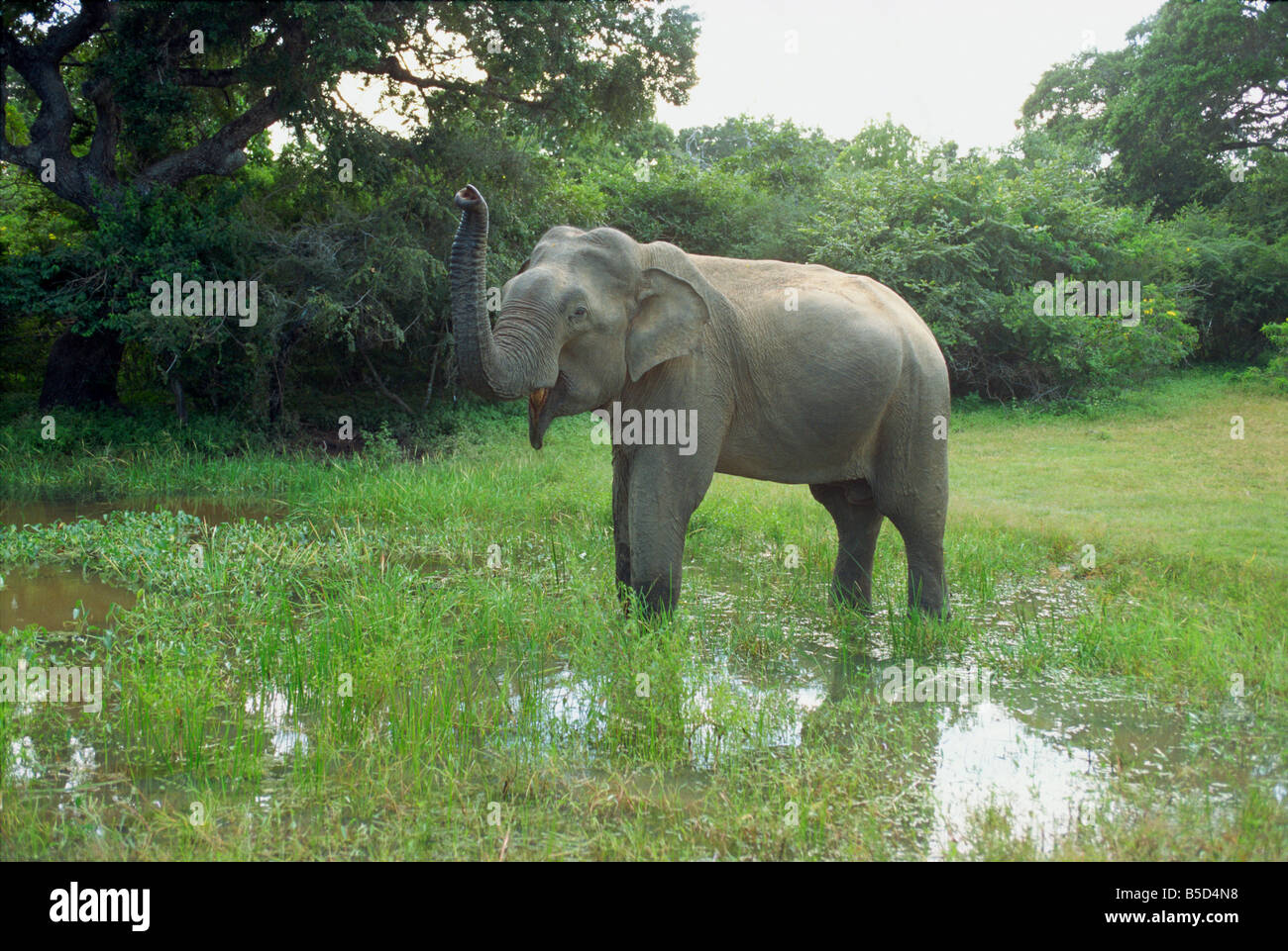 Elephant in Yala Game Park Sri Lanka Asia - Stock Image