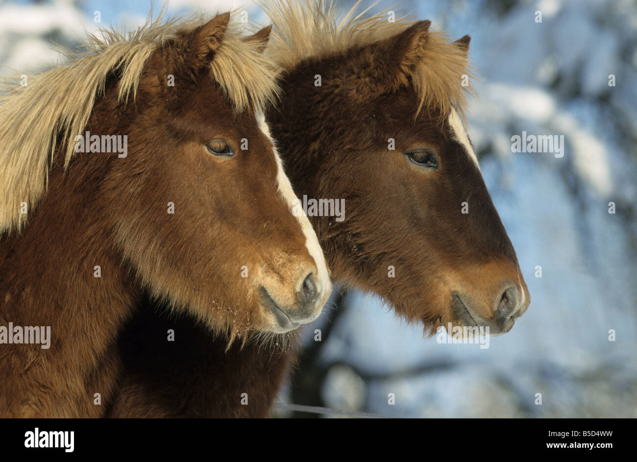 Icelandic Horse (Equus caballus), two individuals in winter coat on a meadow - Stock Image
