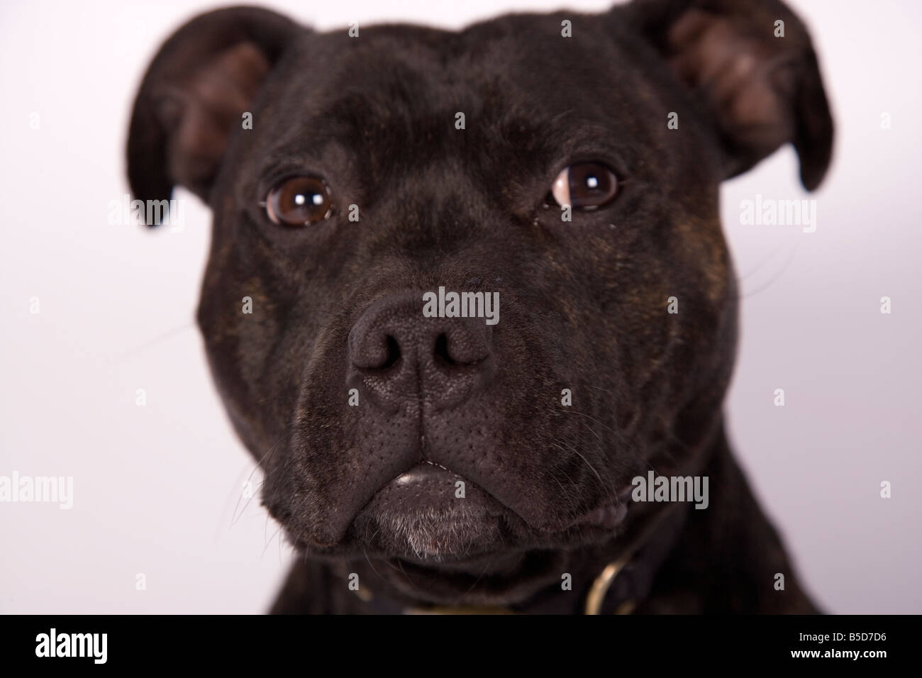close-up staffordshire bull terrier head shot buster - Stock Image