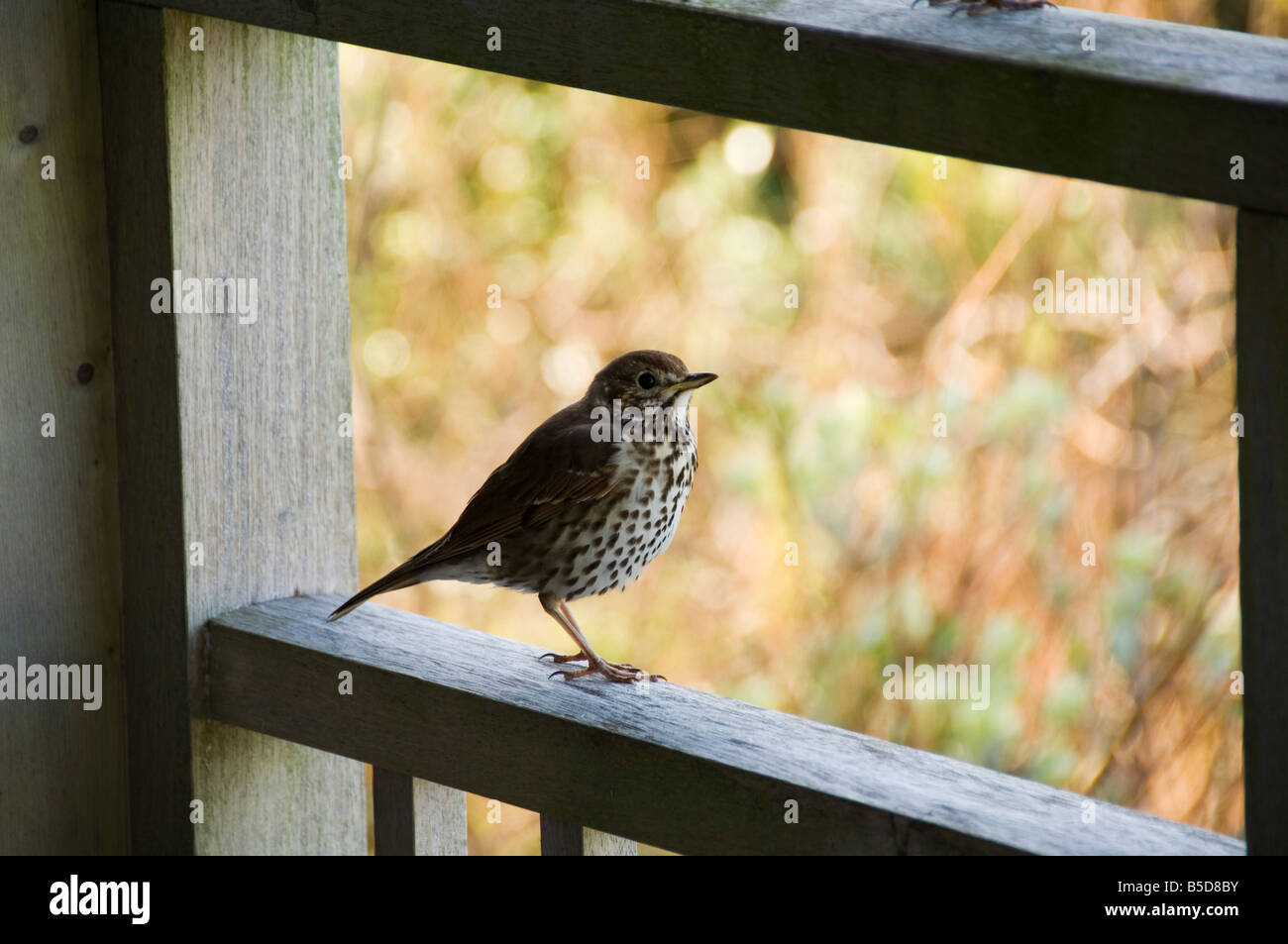 Thrush, Bryer (Bryher), Isles of Scilly, off Cornwall, , Europe - Stock Image