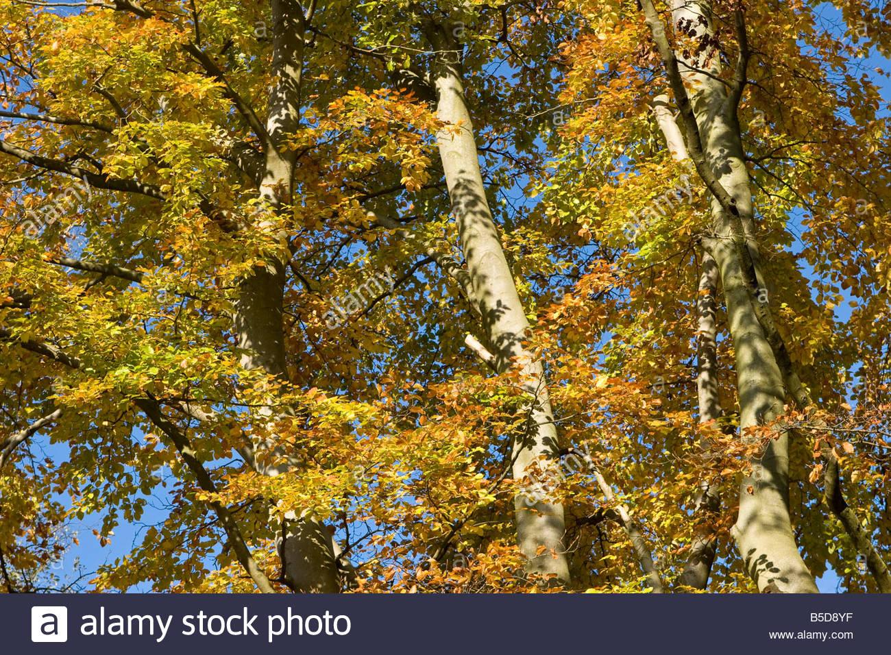 Birch trees in autumn, UK. - Stock Image