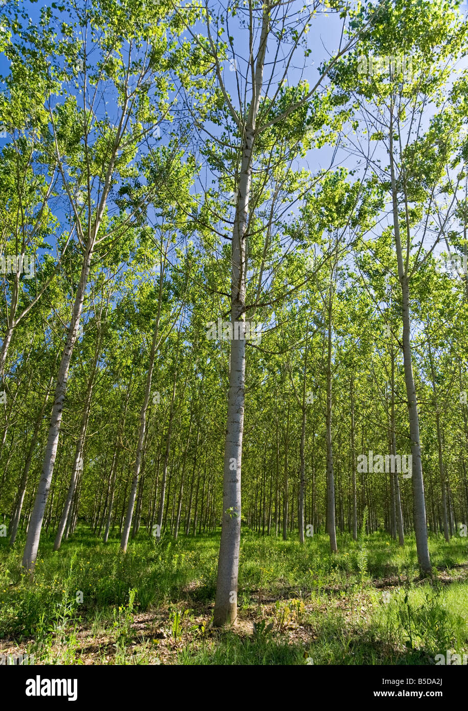 Managed forest of Silver Birch trees Tarn et Garonne Southwest France Europe - Stock Image