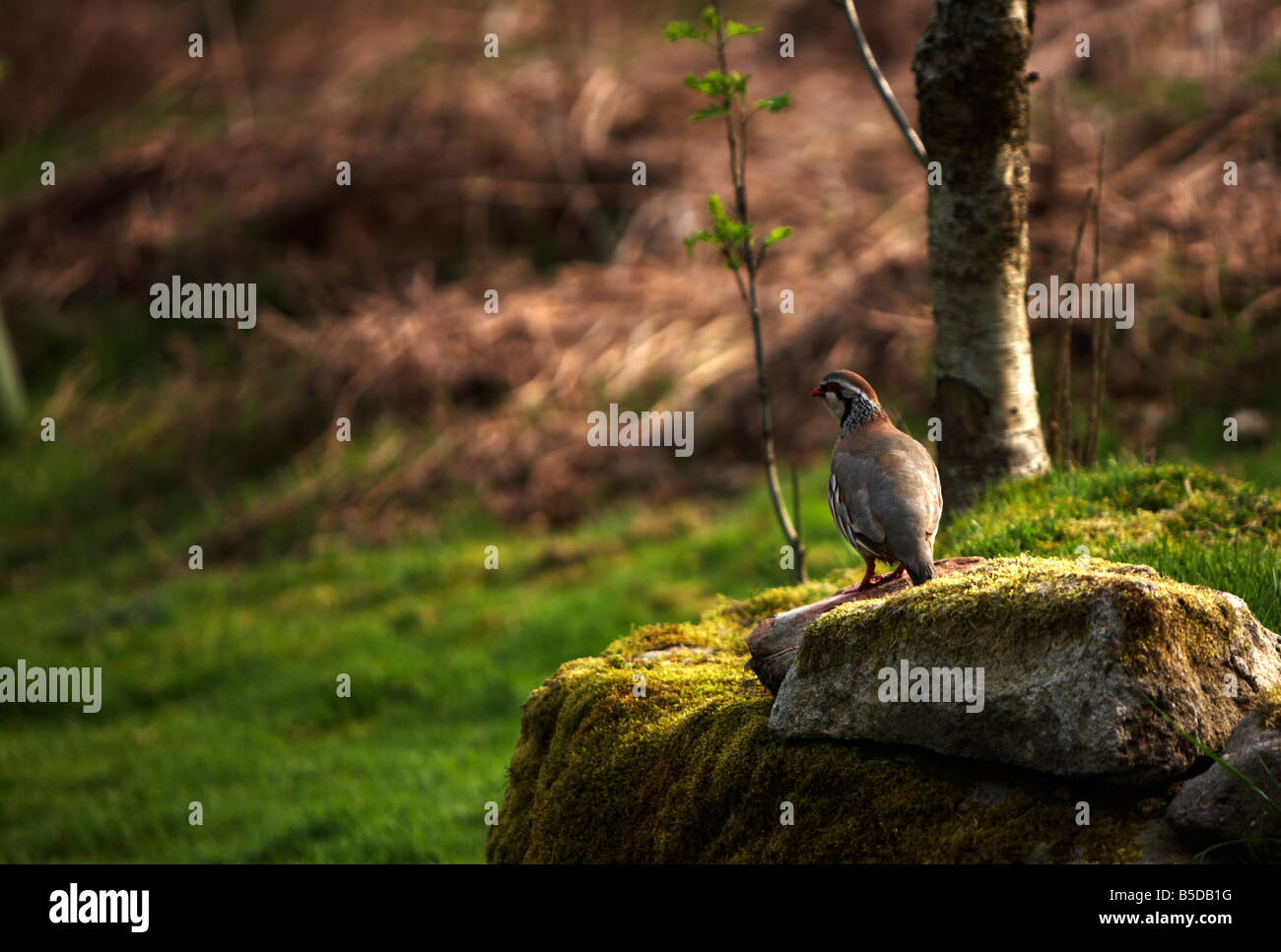 Red Legged Partridge (Alectoris rufa) on stone outcrop on North Yorkshire Moorland - Stock Image