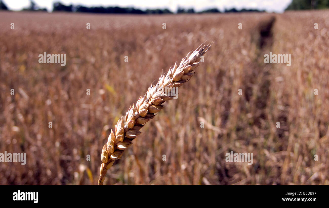 Ear of wheat or corn in a filed ready for harvest for either food or bio fuel blue sky Stock Photo