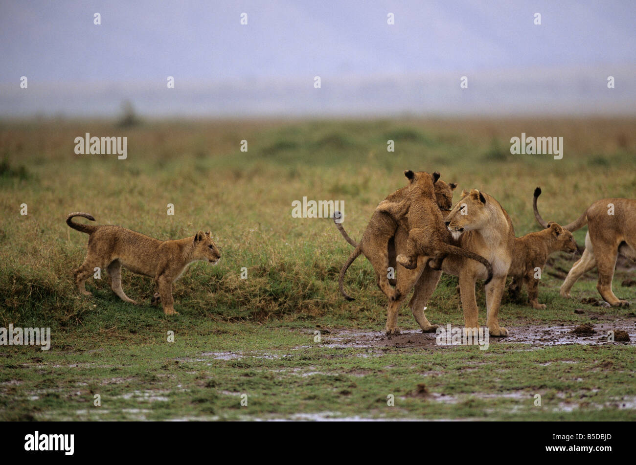 Lions Playing in the Rain Stock Photo