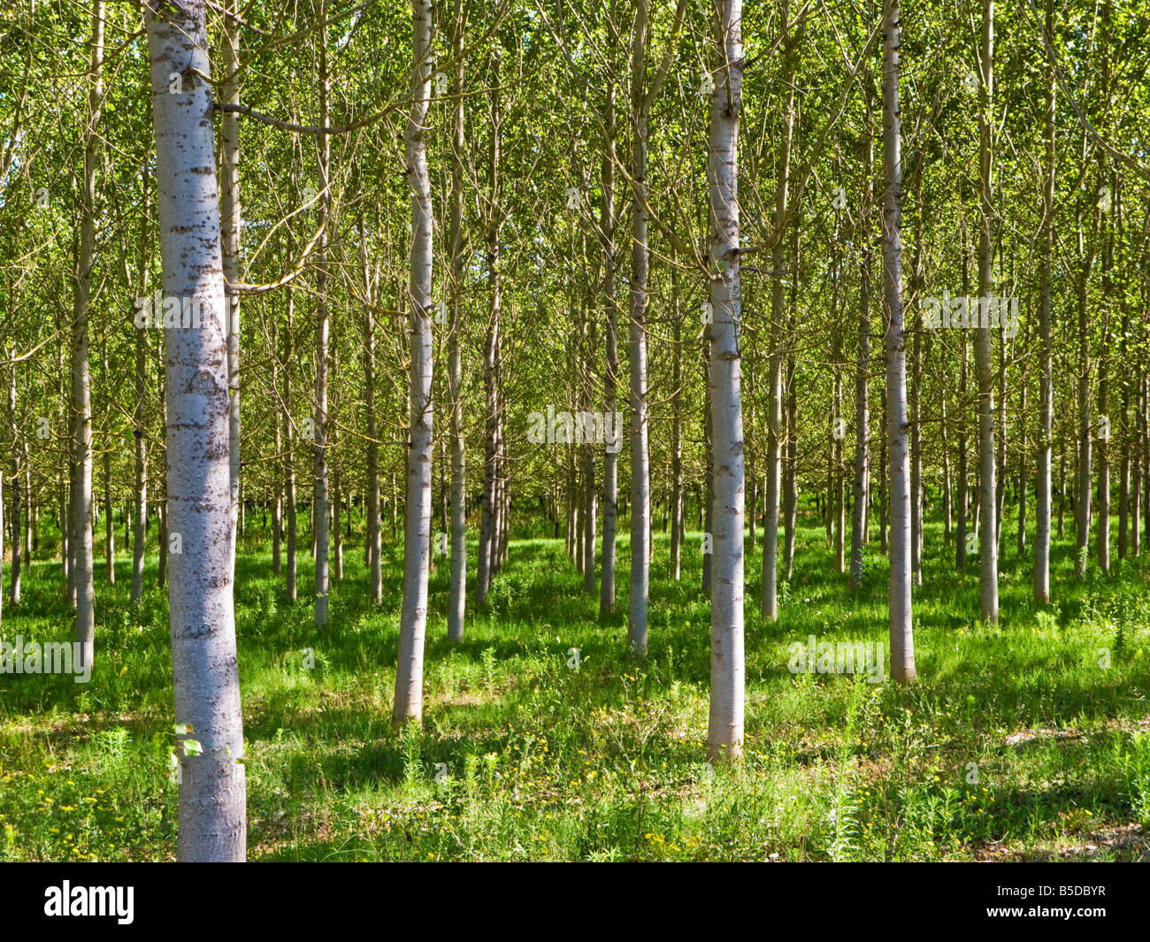 Sunlight through a managed forest of Silver Birch trees in Tarn et Garonne, Southwest France, Europe - Stock Image