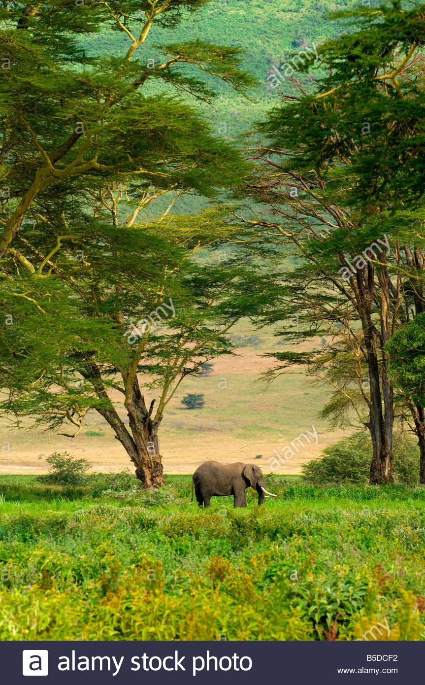 African Elephant Ngorongoro Crater Ngorongoro Conservation Area Tanzania - Stock Image
