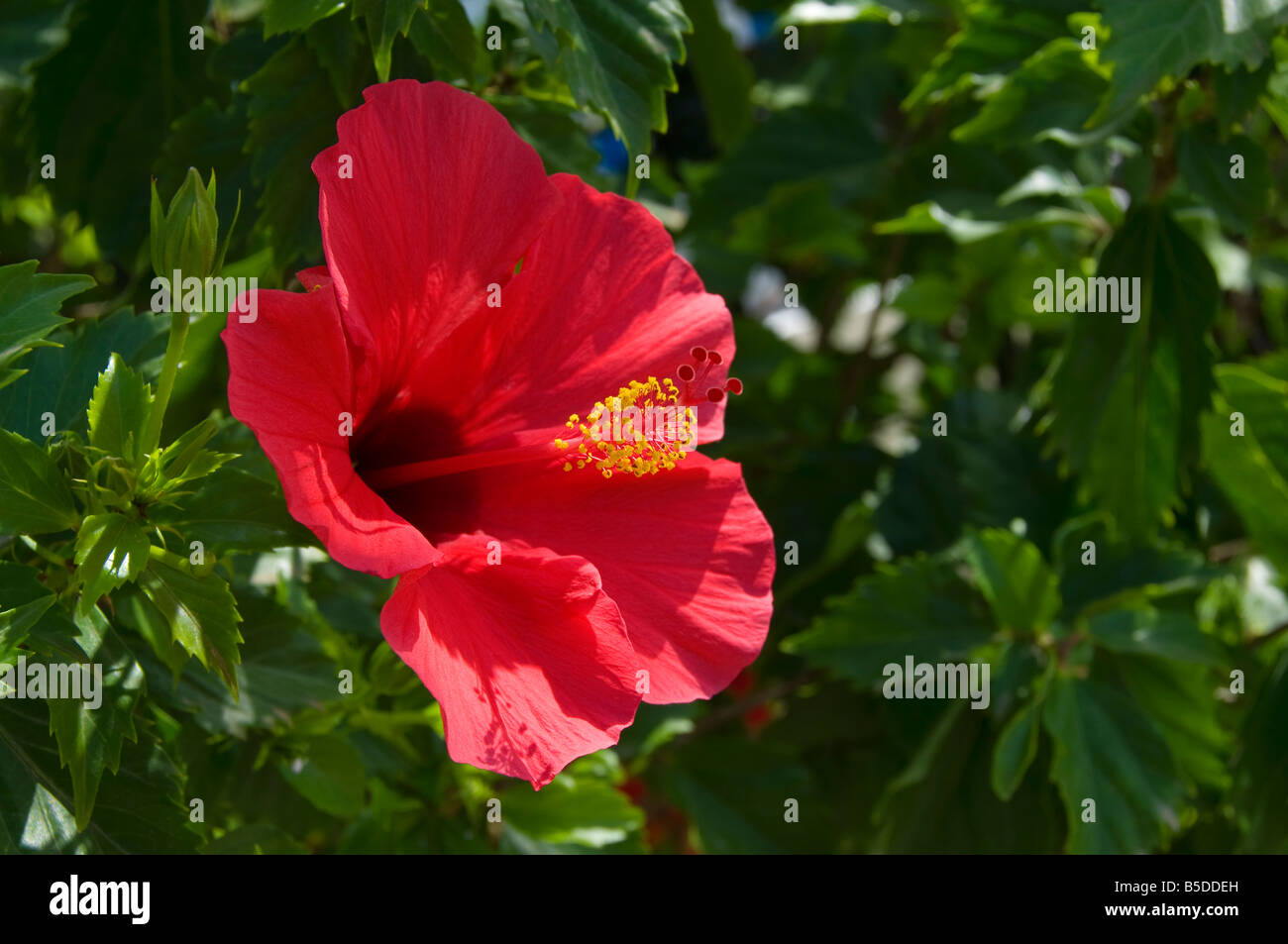 Close up on sunny red Hibiscus flower - Stock Image