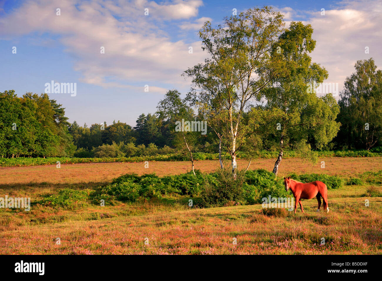 Pony on Emery Down New Forest National Park Hampshire County England Britain UK - Stock Image