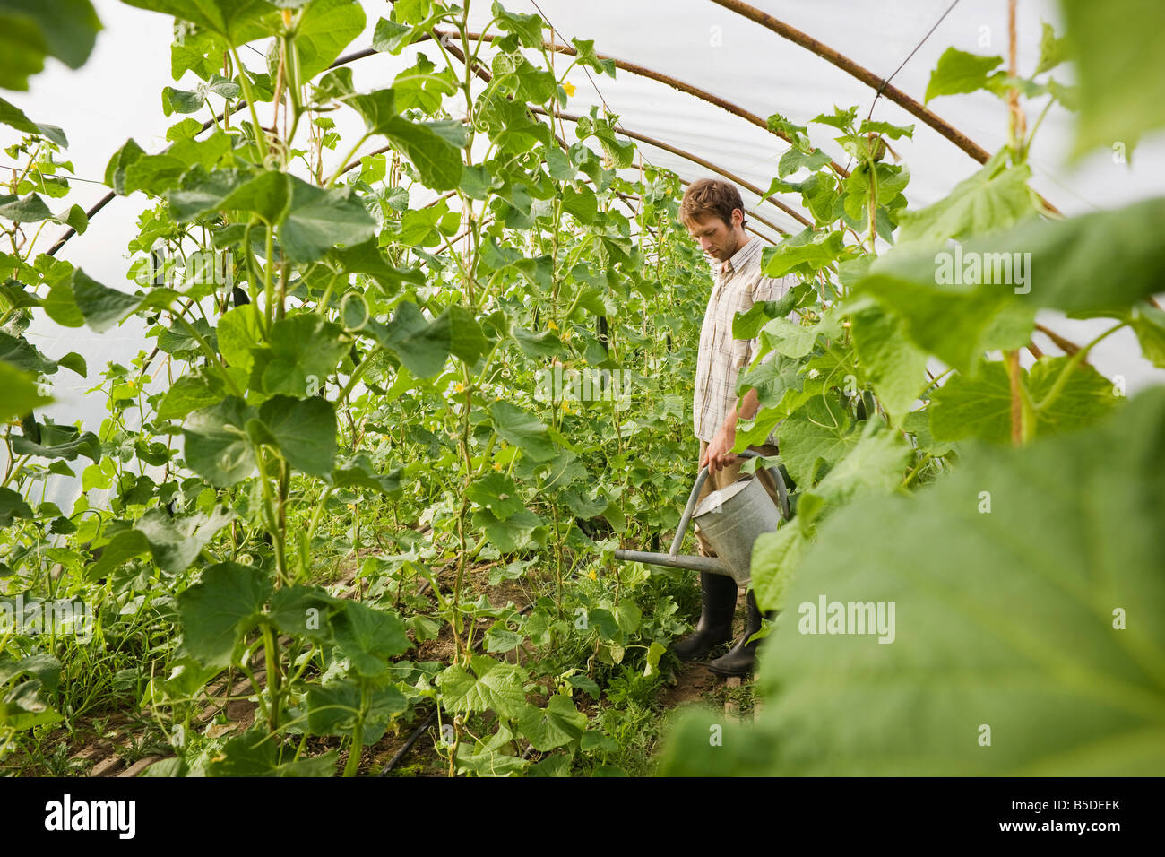 Man in greenhouse watering plants Stock Photo