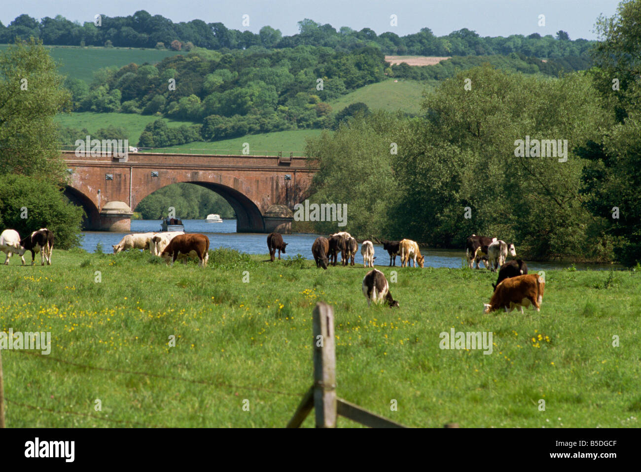 Cattle beside the River Thames Oxfordshire England United Kingdom Europe - Stock Image
