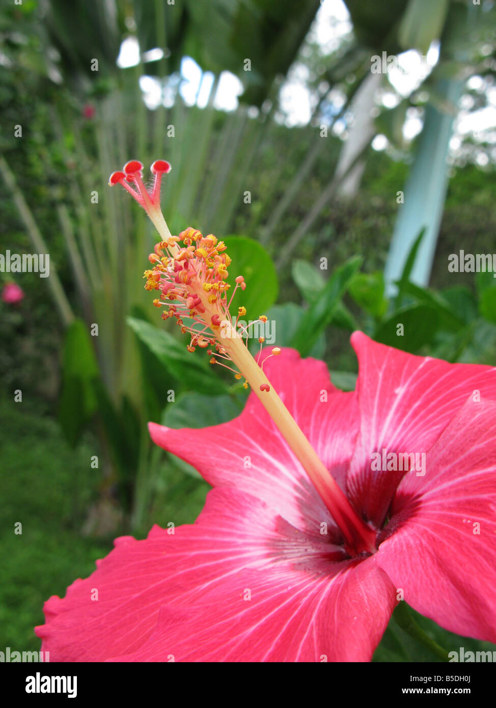 Native hibiscus stock photos native hibiscus stock images alamy flower hibiscus close up the genus hibiscus comprises plants also commonly called hibiscus and less widely izmirmasajfo