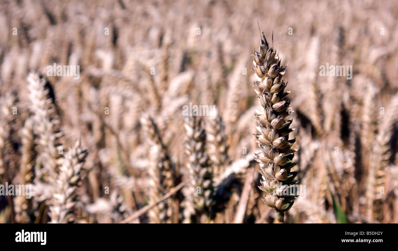 Ear of wheat or corn in a filed ready for harvest for either food or bio fuel Stock Photo