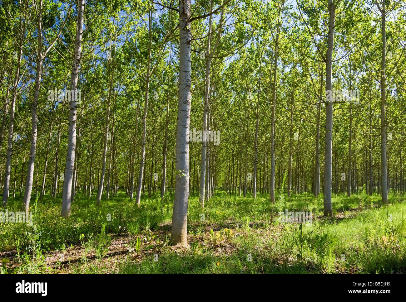 Silver Birch trees, Tarn et Garonne, Southwest France, Europe - Stock Image
