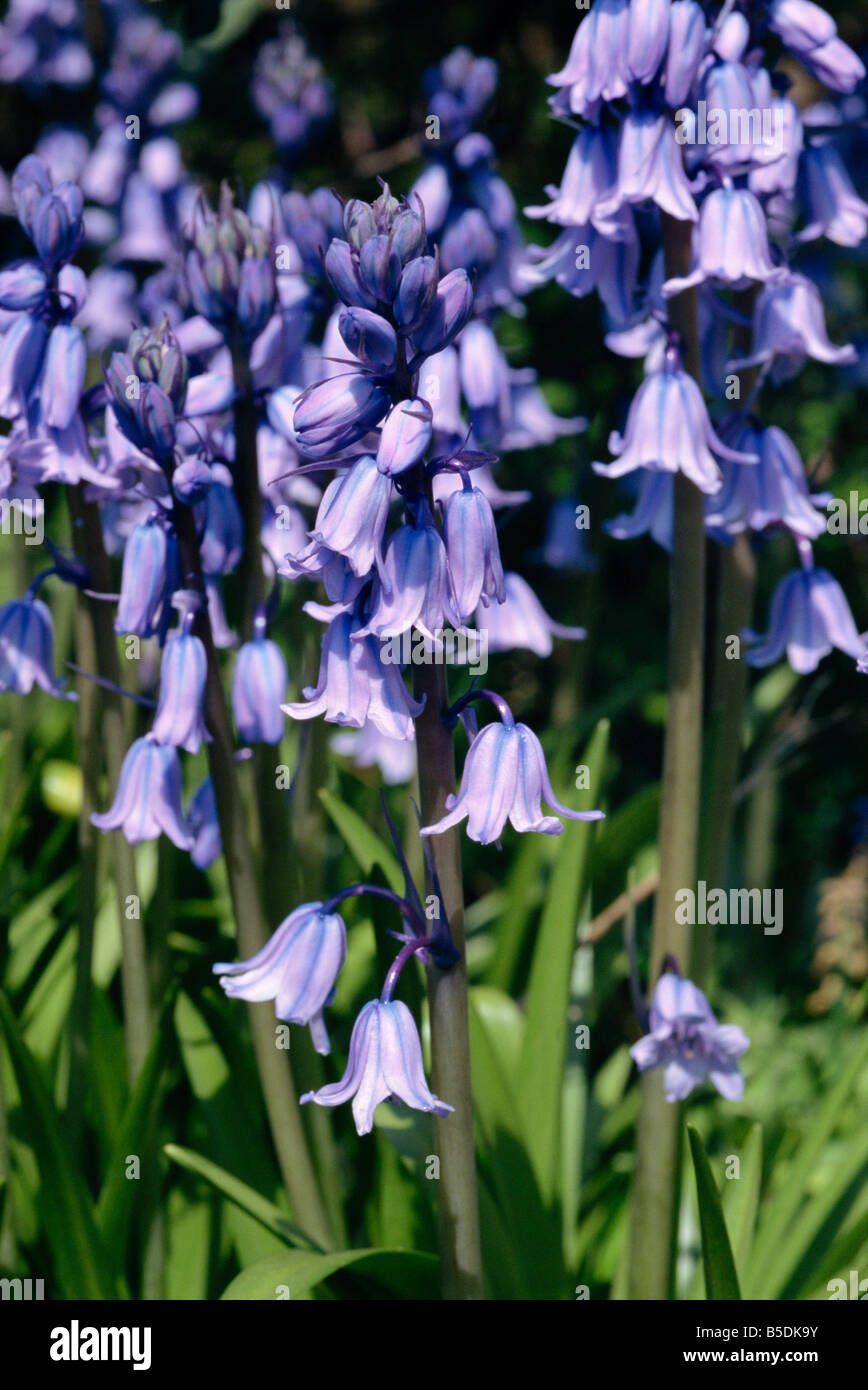 Close up of bluebells Hyacinthoides Non scripta taken in May in Devon England M H Black Stock Photo