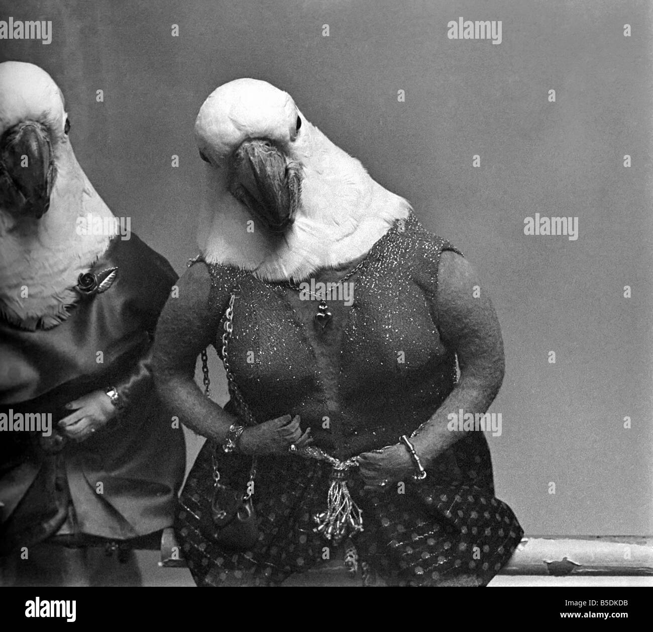 Animals  Birds  Humour  Parrots in fancy dress in humorous poses. December  1980 80-07243-024 b8155c69a