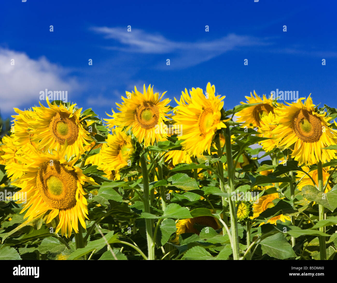 Yellow mature sunflowers against a blue sky in southern France Europe - Stock Image