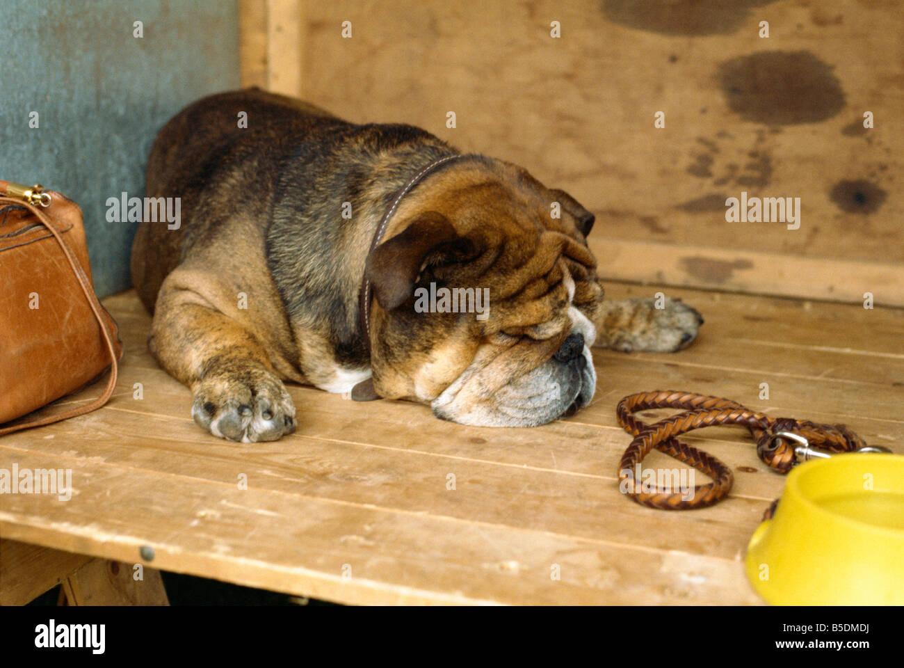 Dog waits patiently at dog show, England, Europe - Stock Image