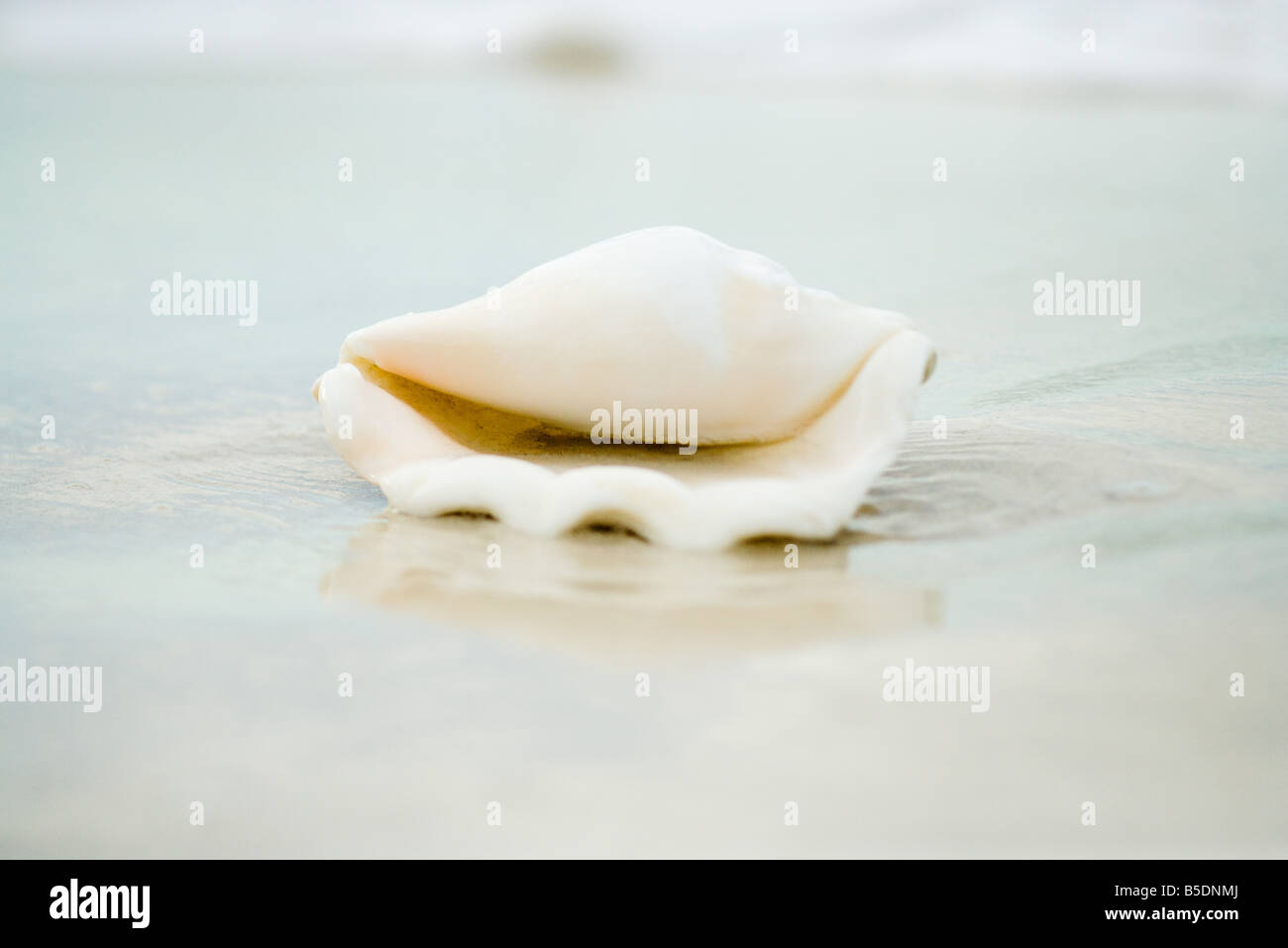 Conch shell on beach, close-up - Stock Image