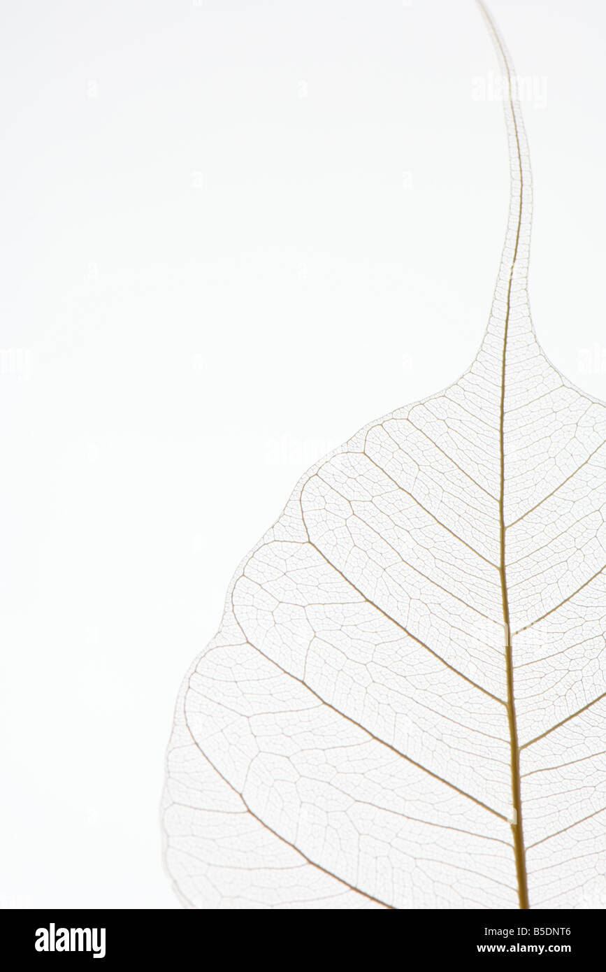 Translucent leaf, close-up, cropped - Stock Image
