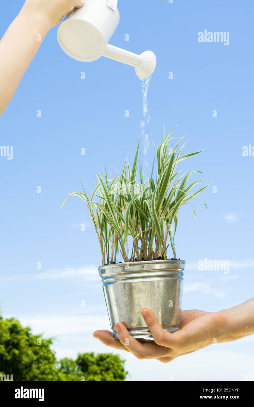 Potted plant held by one person being water by another - Stock Image