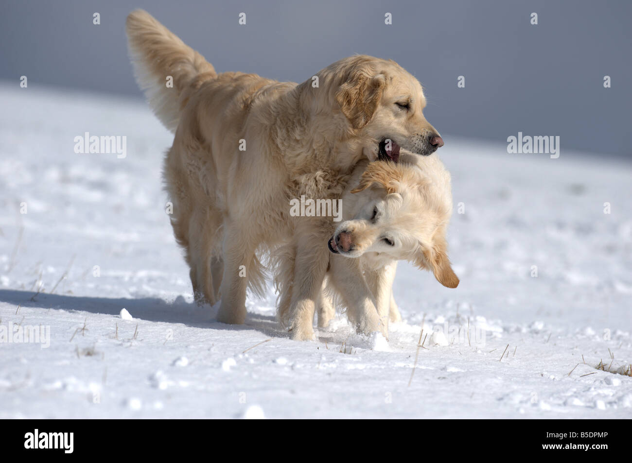 Golden Retriever (Canis lupus familiaris). Pair playing on snow - Stock Image