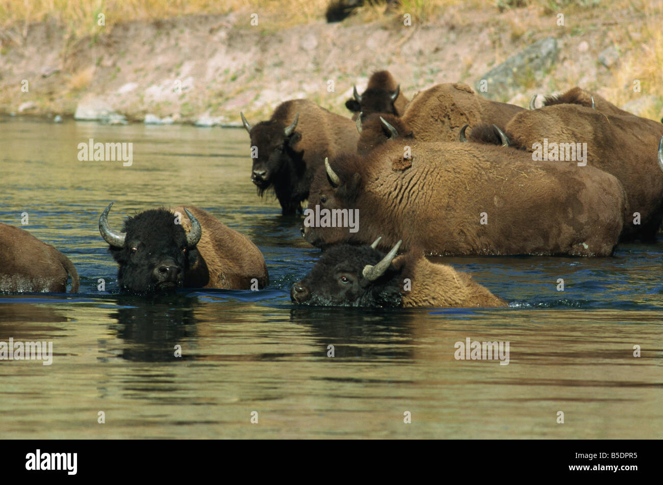 Bison, Madison River, Yellowstone National Park, UNESCO World Heritage Site, Wyoming, USA, North America Stock Photo
