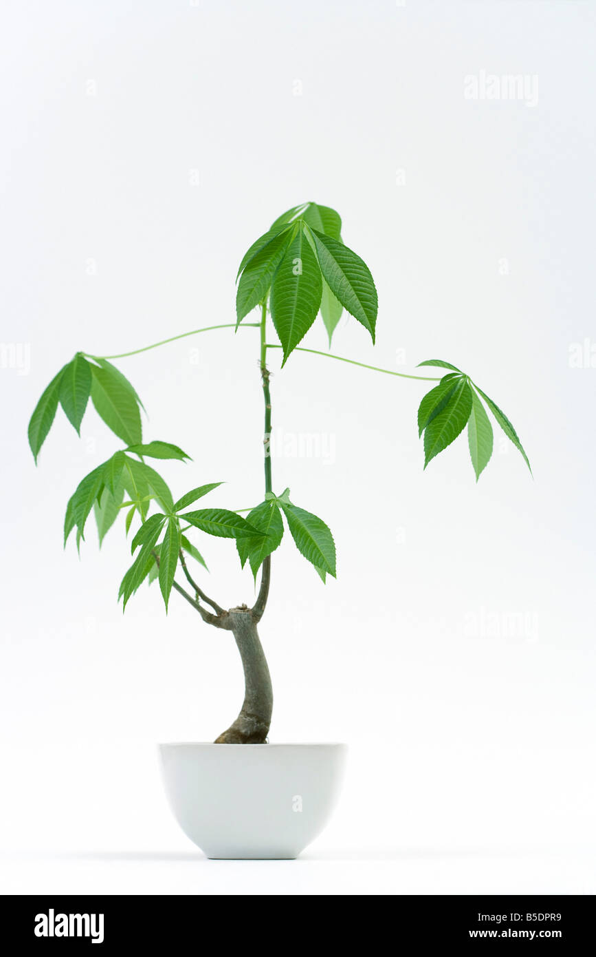 Potted silk floss tree - Stock Image