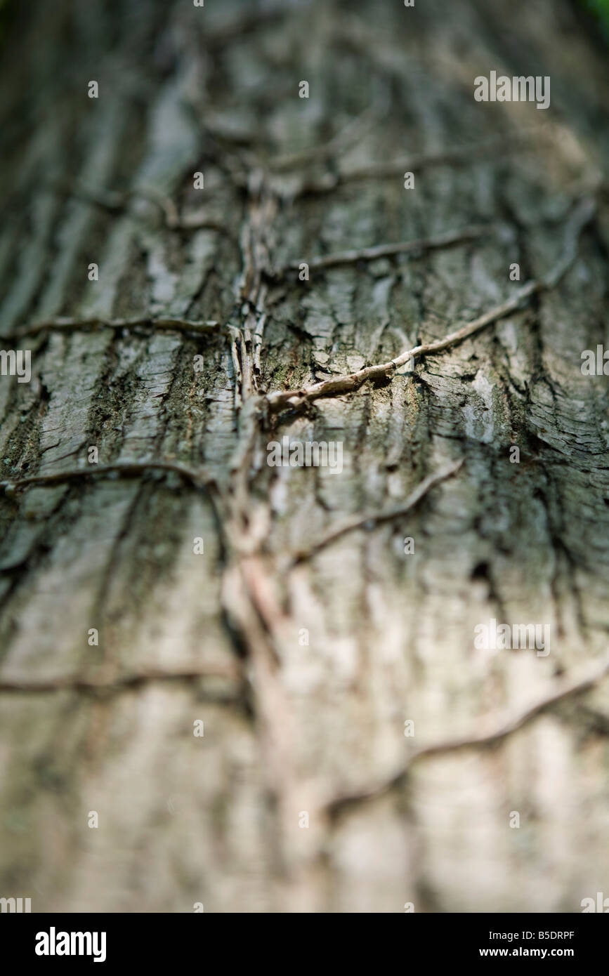 Vines growing on tree trunk - Stock Image
