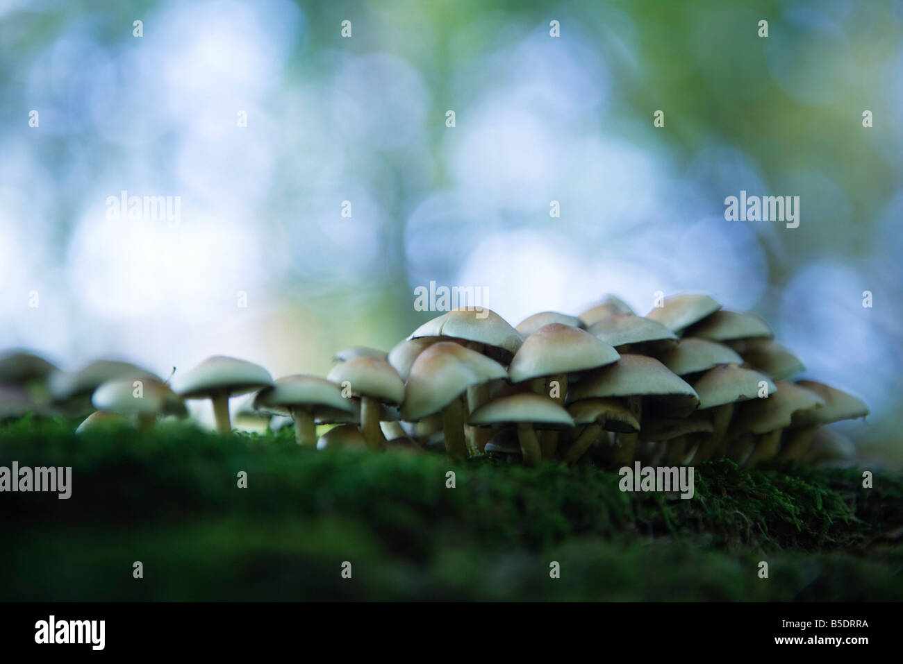 Large cluster of mushrooms growing on moss, selective focus - Stock Image