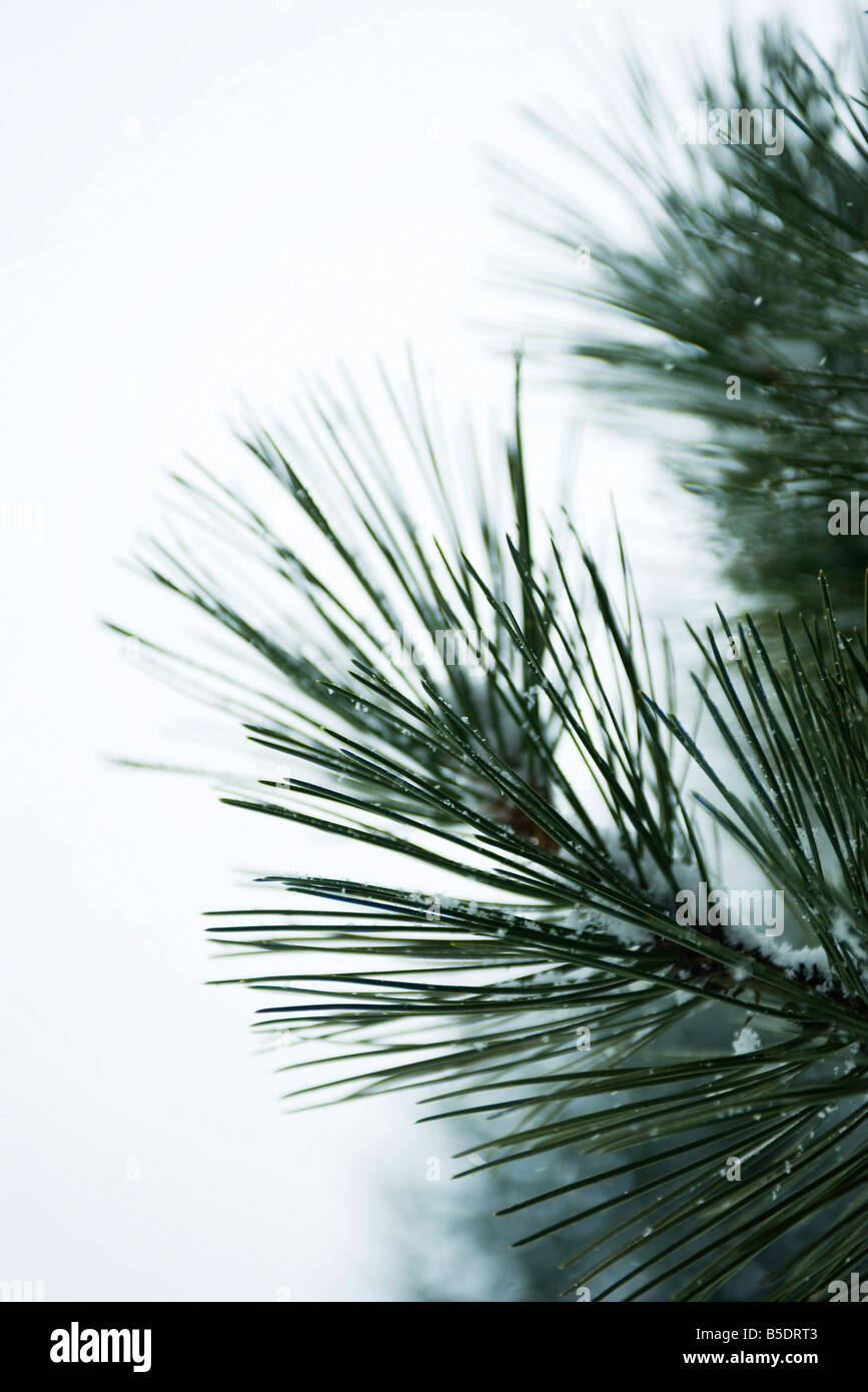 Pine needles lightly dusted with snow, close-up - Stock Image