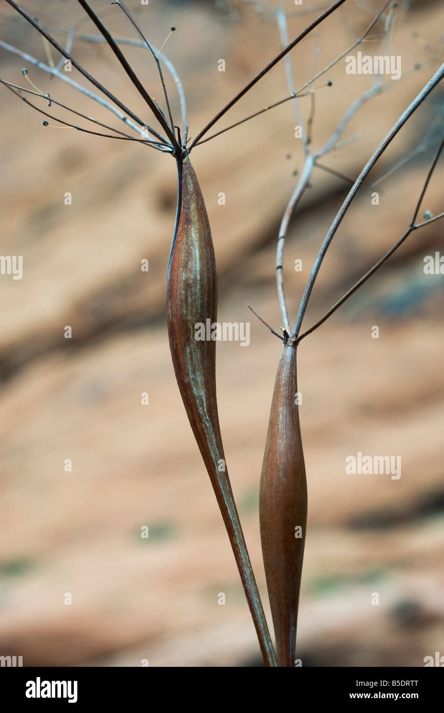 Desert trumpet plant, close-up - Stock Image