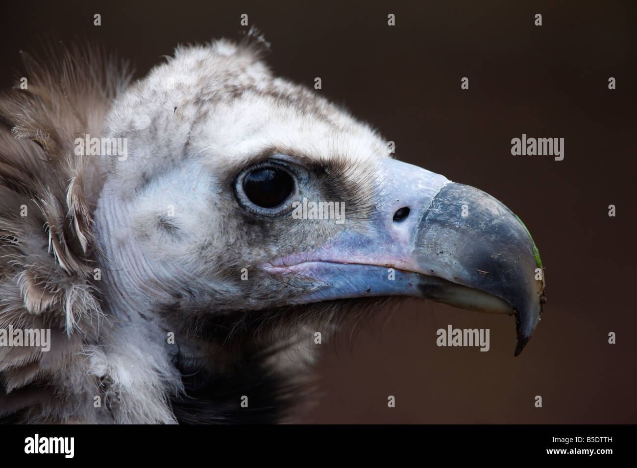 Eurasian black vulture Aegypius monachus head detail captive bird Also known as monk or cinereous vulture Stock Photo