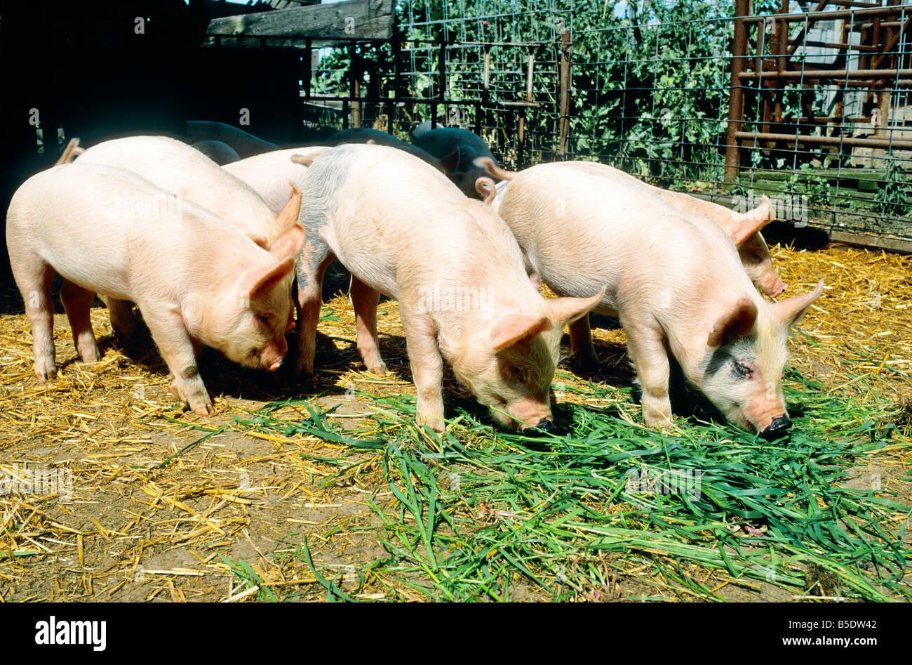 Juvenile hogs feeding in pen. - Stock Image