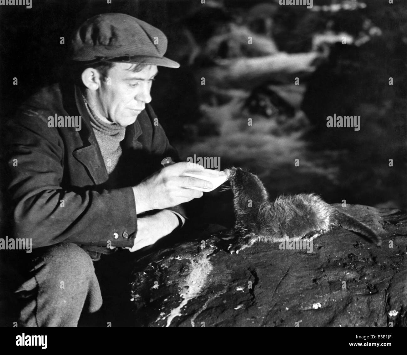 Man feeding a baby otter with milk from the bottle. December 1938 - Stock Image