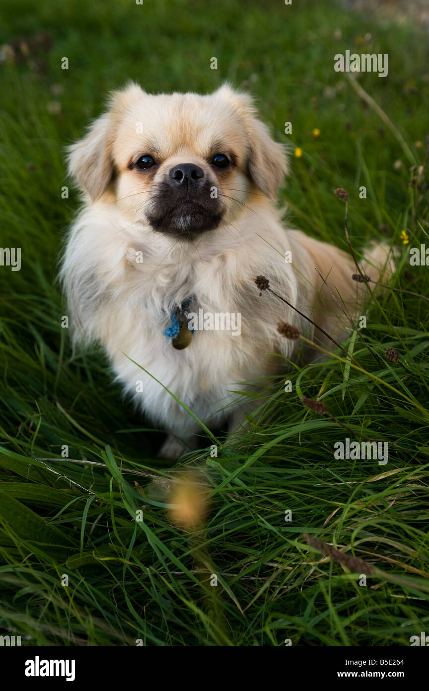 A cute little dog looking at the lens - Stock Image