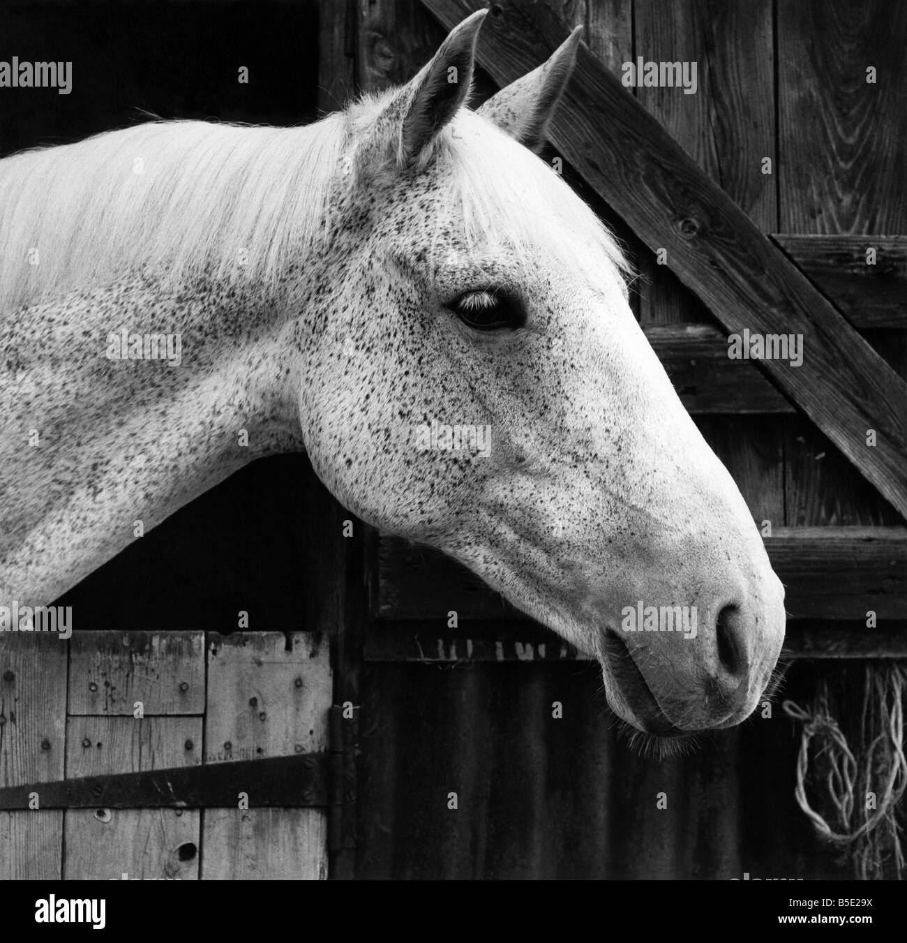 A horse leaning his head out from his stableCirca 1965 - Stock Image