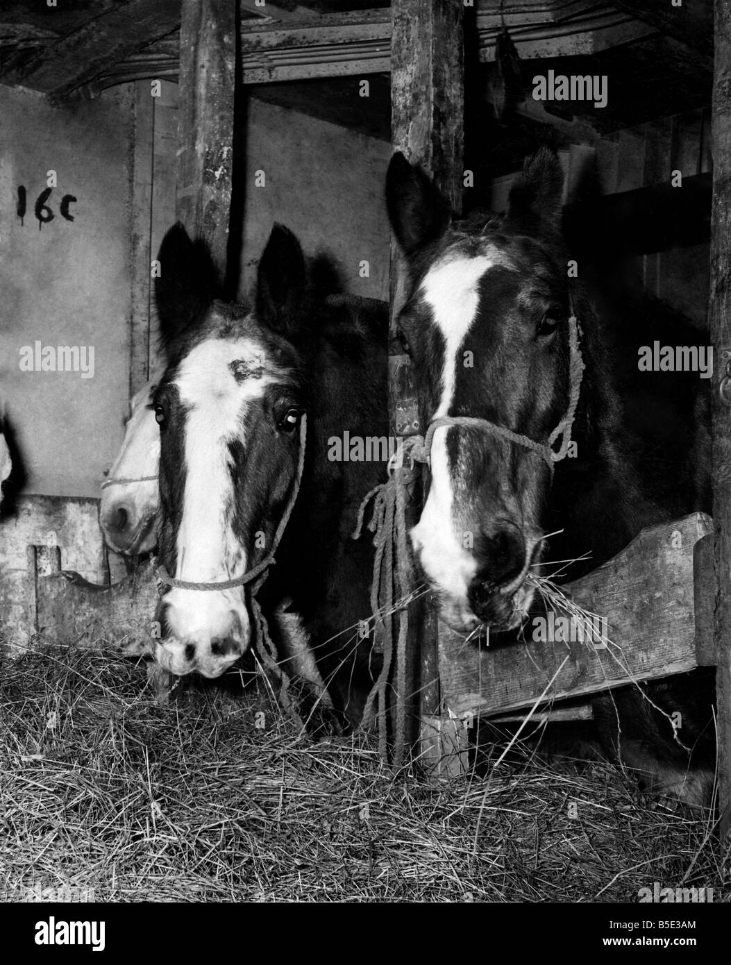 Irish Horse meat feature. Jan. 1960.;Irish Horses seen here waiting to be off loaded from the ship Thearon at Amsterdam. - Stock Image