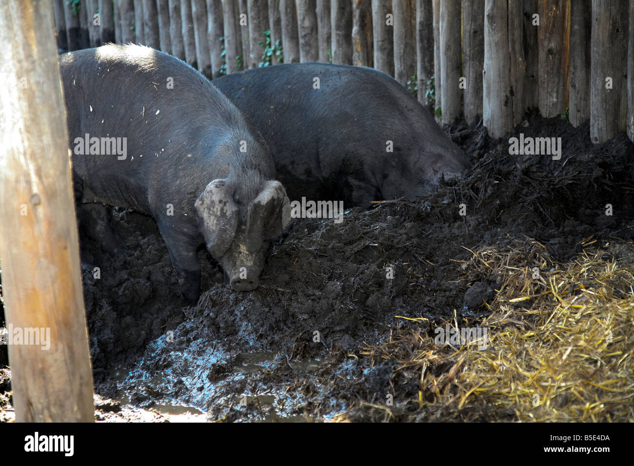 Black Pigs as raised by Huron Indians in 1650-1700 on display at Saint-Marie among the Hurons in Midland Ont - Stock Image