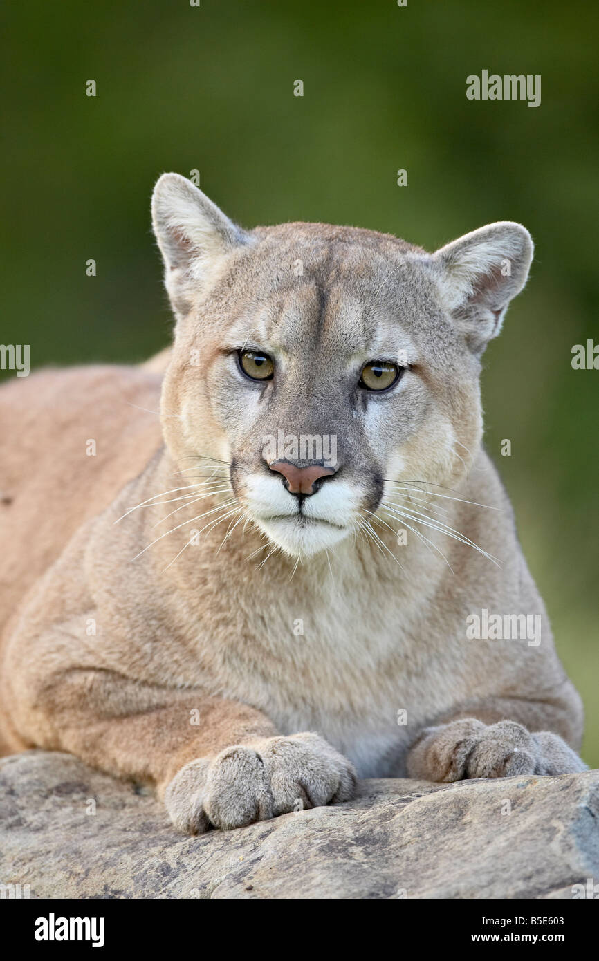 Mountain lion (cougar) (Felis concolor), in captivity Sandstone, Minnesota, USA, North America - Stock Image