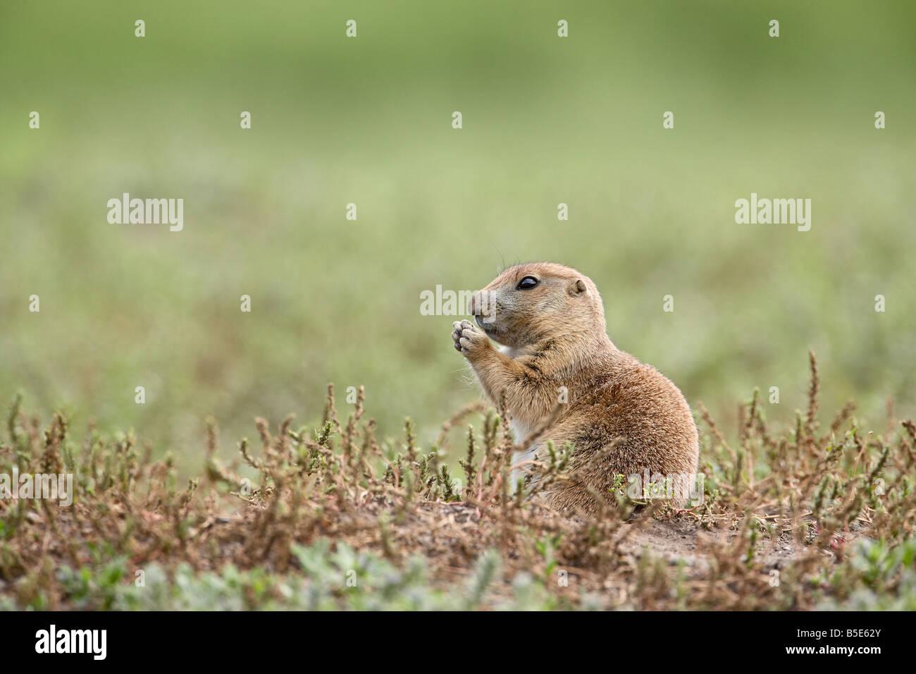Baby blacktail prairie dog (Cynomys ludovicianus), Custer State Park, South Dakota, USA, North America - Stock Image