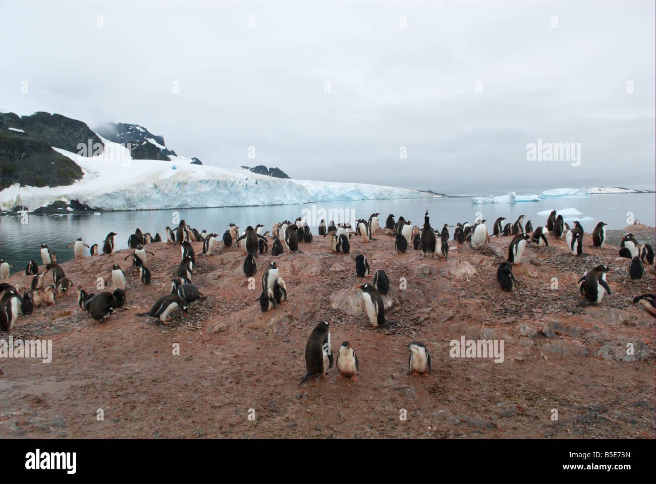 Gentoo penguin breeding colony - Stock Image