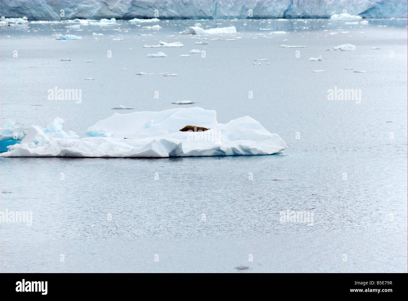 Seal lying on an iceberg - Stock Image