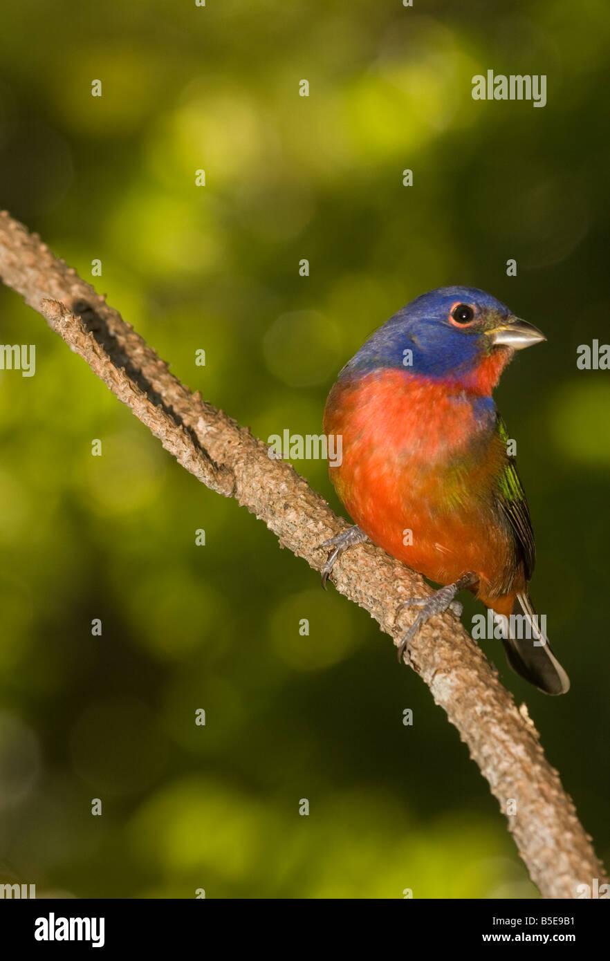 Male Painted Bunting passerina ciris - Stock Image