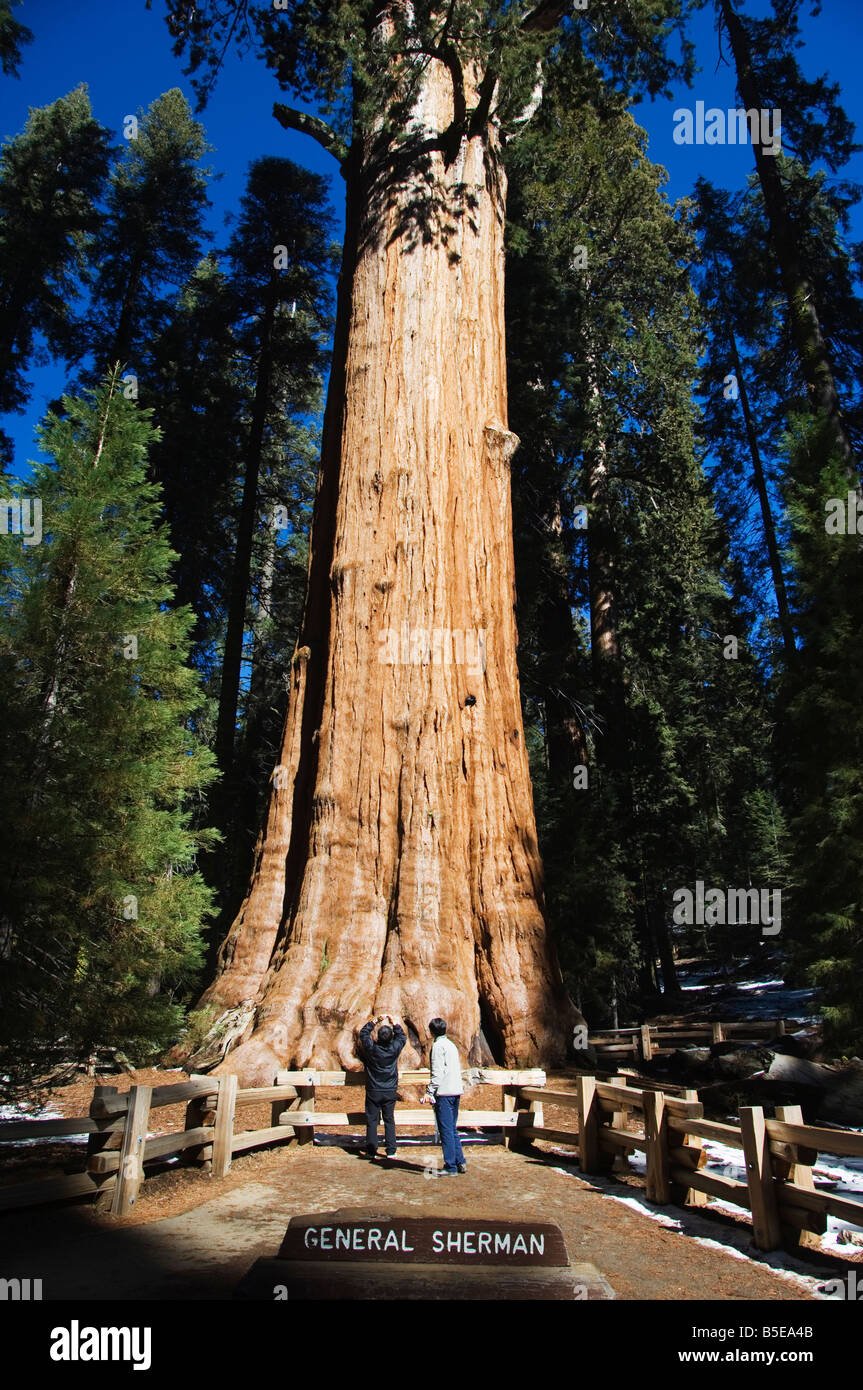 Tourists dwarfed by the General Sherman Sequoia Tree, largest in the world by volume, Sequoia National Park, California, - Stock Image