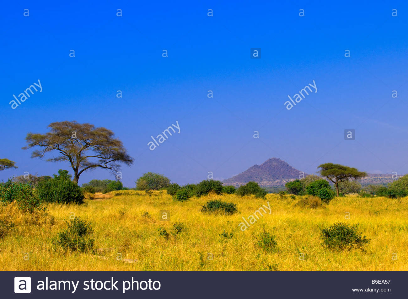 Acacia trees Tarangire National Park Tanzania - Stock Image