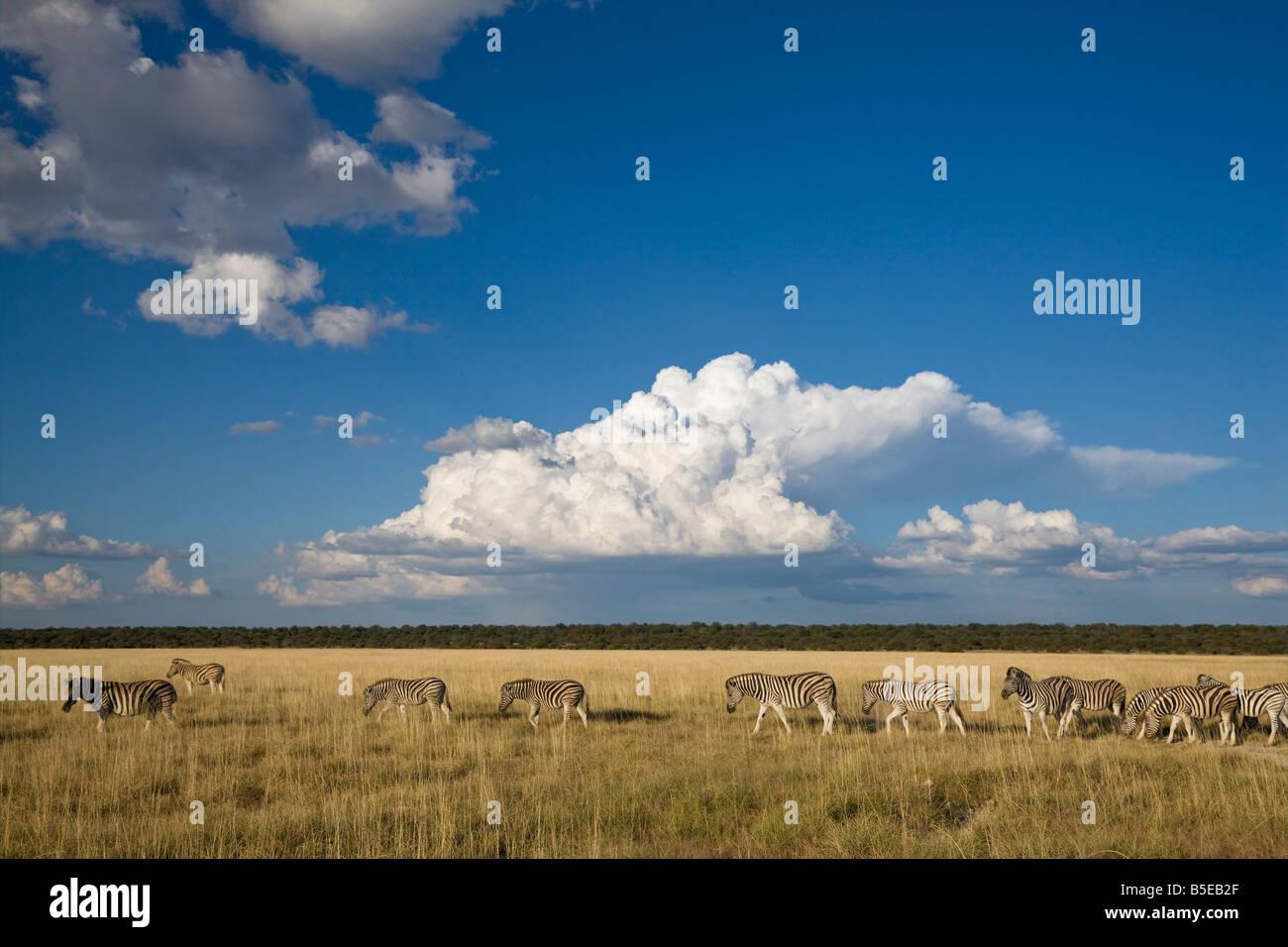 Cumulus Quagga