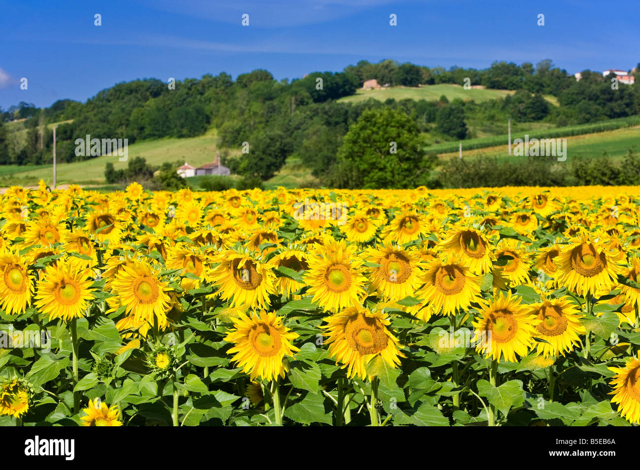 A field of ripe sunflowers in southwest France Europe - Stock Image
