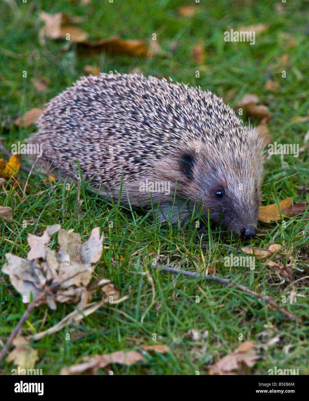 European Hedgehog (Erinaceus europaeus), UK - Stock Image